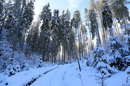 winter pine forest in Carpathian mountains in Ukraine