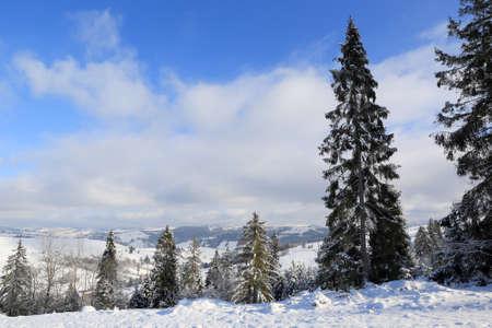 pine tree on winter meadow in Carpathians, Ukraine