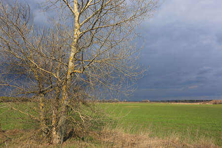 leafless tree on green meadow before thunderstorm in spring time Standard-Bild