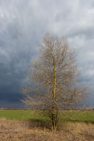 leafless tree on spring meadow before thunderstorm in steppe