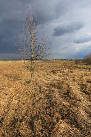 alone leafless tree among dry spring grassland before thunderstorm Standard-Bild