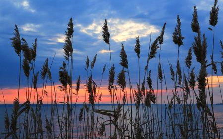view on sunset sky throug cane on lake shore