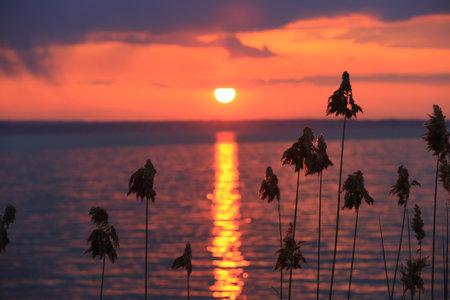 cane in lake on sunset sky background