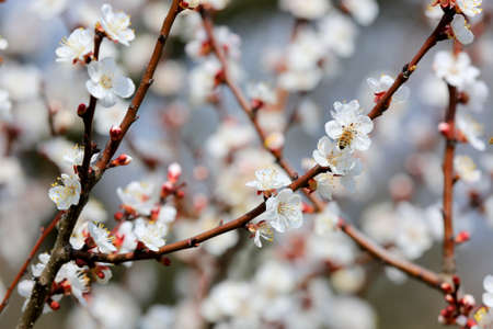 Nice blossoming branch of apricot tree in spring day Standard-Bild