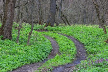 Dirt road turn among green grass in spring forest Standard-Bild