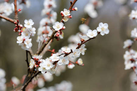 Blossoming branch of apricot tree in spring day