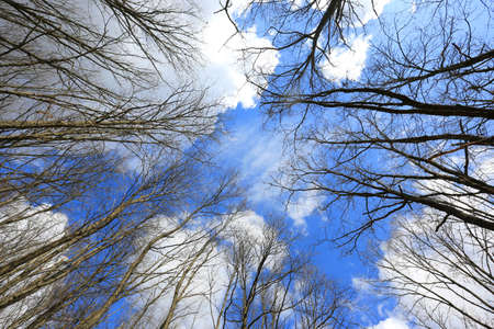 clouds in the blue sky above the milestones of the trees. Look up. Spring leafless forest