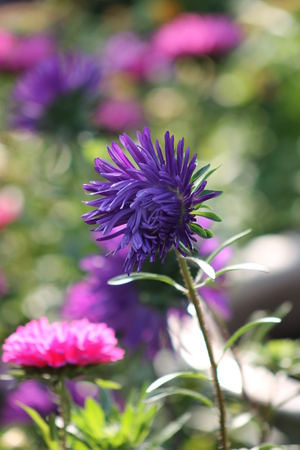 astra: Beautiful Astra. garden flower