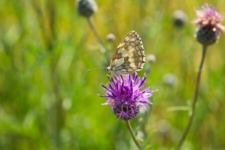 Detail Of Beautiful White-Brown Butterfly Which sits on Purple Flower
