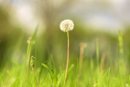 Ripe dandelion on a background of bright green grass