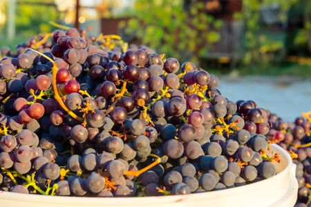 Capacities made filled with bunches of ripe dark grapes Stock Photo