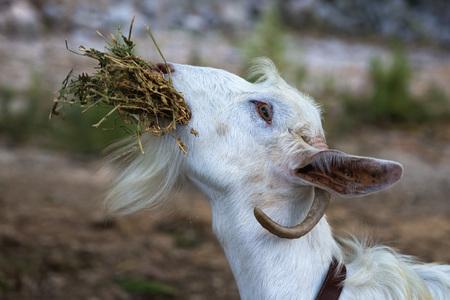 White goat eating dry grass - closeup photo