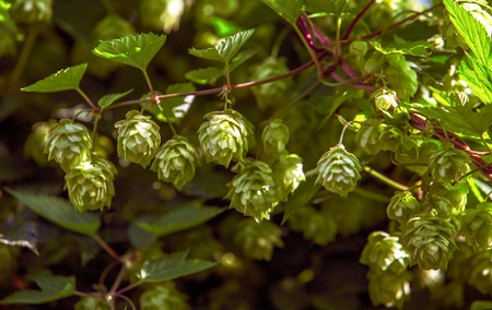 Hop. The plant is close-up. Photos outdoors