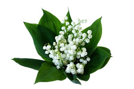 mayflower: lily of the valley on white background