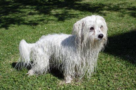 uncommon: uncommon breed of dog Coton de Tulear - wet Stock Photo