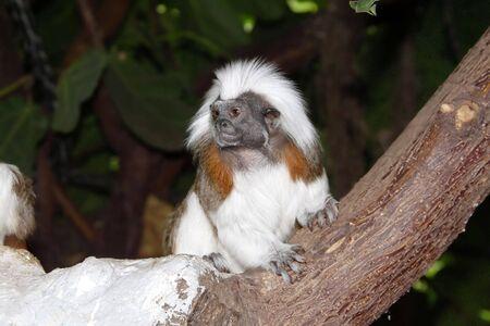 Cotton Top Tamarin on branch photo