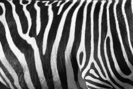 photo of a zebra texture Black and White 免版税图像