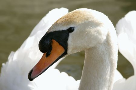 nice portrait of swan male photo