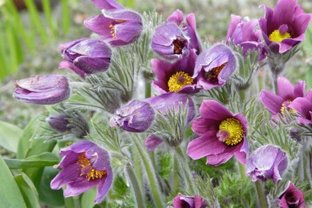 background of pasque-flower at spring time Stock Photo - 2950981