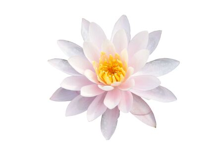Water lilly nymphaea - Irene - isolated on black background 免版税图像