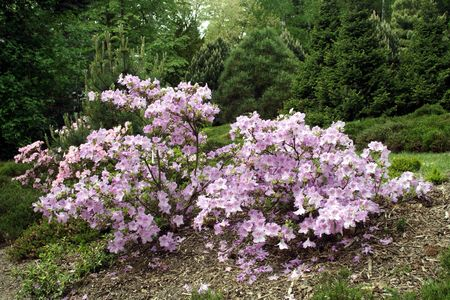 violet rhododendron photo