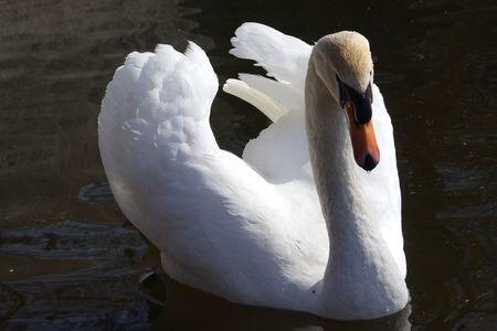 swan male Stock Photo - 3008796