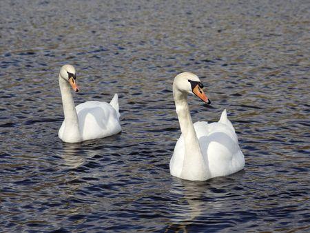swans couple on lake photo