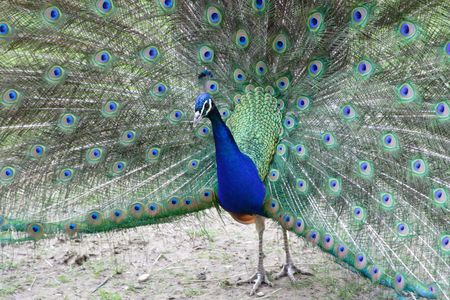 A beautiful peacock with open colorful feathers photo