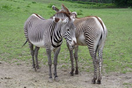 freaked: Two zebras standing side-by-side