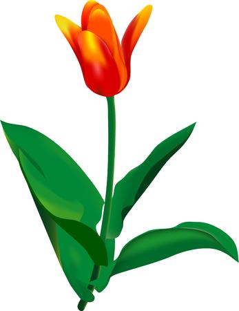 vector - tulip with green foliage Vector