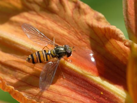 wasp drinks drops of water on flower