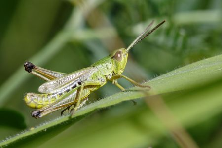 Green Cricket Insect on leaf