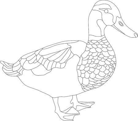 fowl: vector - drake isolated on white background