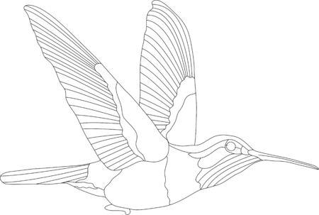 vecteur - hummingbird isolés sur fond blanc