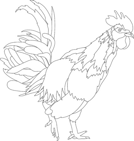 vector illustration  hen: vector - cock isolated on backround Illustration