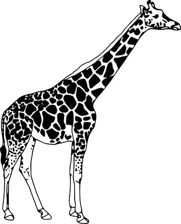 giraffe silhouette: vector - contour giraffe isolated on white background