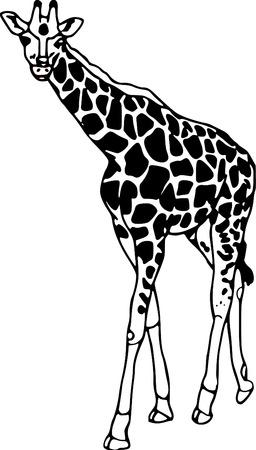 giraffa: vector - contour giraffe isolated on white background