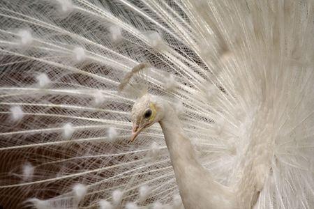 close up of white peafowl photo