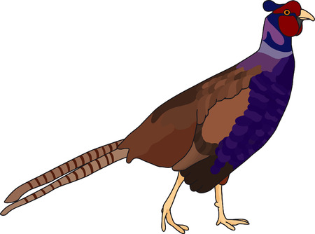 vector - color pheasant isolated on background