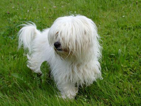 uncommon: uncommon breed of dog Coton de Tulear