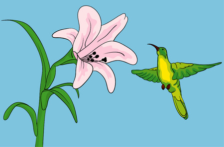 Hummingbird getting nectar from a lilly flower Vector