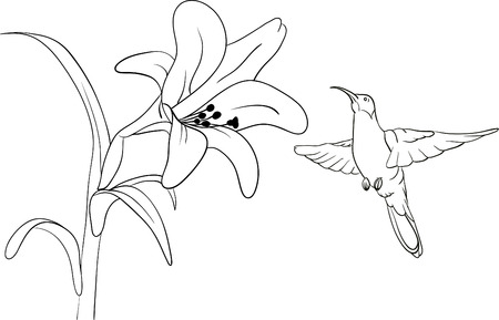 white lilly:  Hummingbird getting nectar from a lilly flower