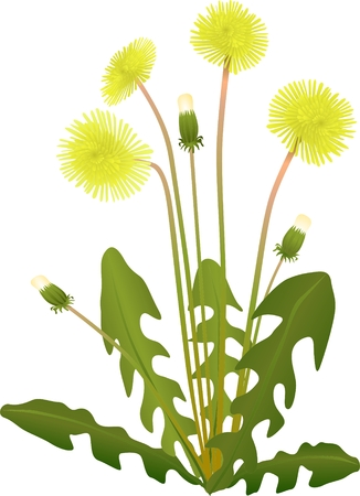 clip art draw: of flower yellow dandelion isolated on background