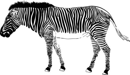 zebra isolated on background