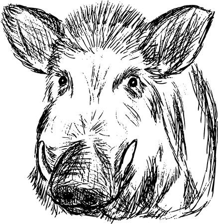 wild  boar:  wild boar , hand draw, isolated on background