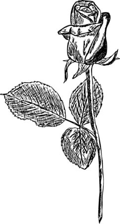 drawings image: black roses draw on a white background