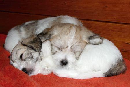 uncommon: two sleeping puppies uncommon breed  Coton de Tulear
