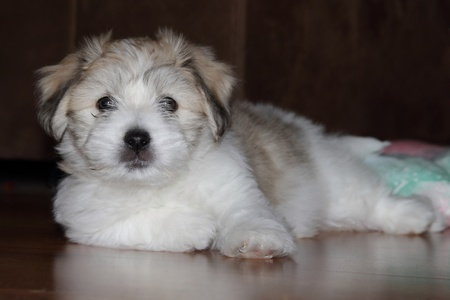 uncommon:  puppy uncommon breed  Coton de Tulear