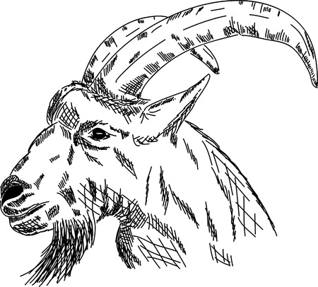 goat head:  hand draw portrait goat isolated on background