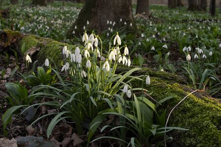 floodplain: macro - snowdrops in floodplain forest in the spring time Stock Photo